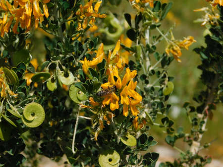 Medicago or alfalfa arborea or moon trefoil, wild plant with beautiful yellow flowers, and a honey bee Imagens