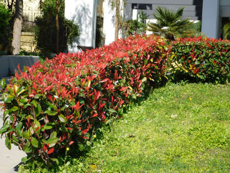 A photinia fraseri red robin hedge with red and green leaves, in Attica, Greece