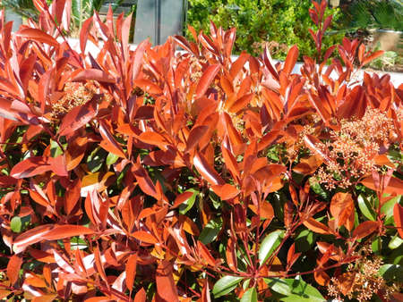 A blossoming photinia fraseri red robin shrub, with red and green leaves, and white flowers