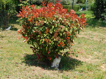 A blooming photinia fraseri red robin shrub with red and green leaves and a cat, in a park in Attica, Greece Imagens