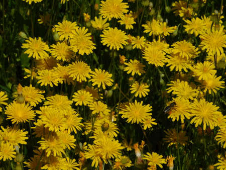 Yellow dandelion flowers and a honey bee, at springtime Imagens