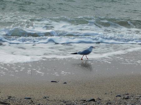 A Mediterranean seagull or larus or icthyaetus melanocephalus, on the beach Imagens