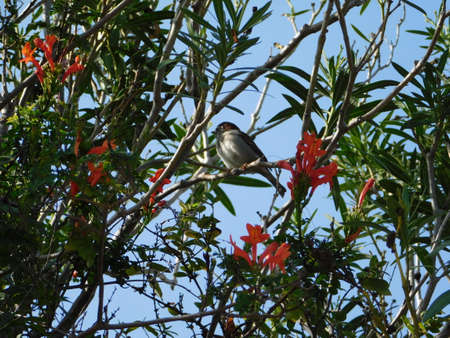 A sparrow on a tree, and cape honeysuckle flowers