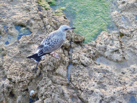 A young yellow legged gull, or Larus michahellis, in Attica, Greece