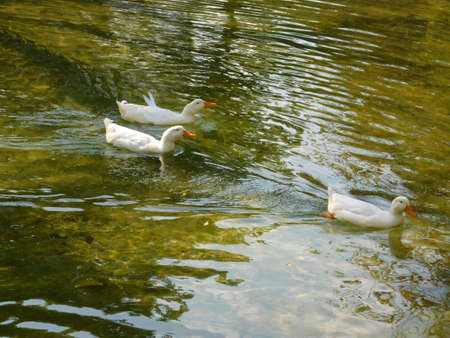 Domestic geese, or Anser anser domesticus, in Athens, Greece