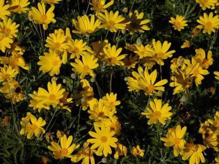 Yellow daisy, or Euryops pectinatus flowers