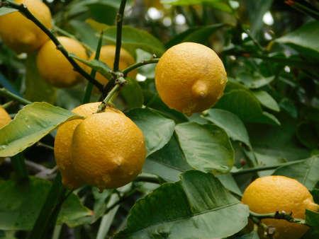 Fresh lemons , or Citrus limon, on a tree after the rain Imagens