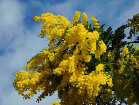 Mimosa, or Acacia dealbata tree branch, with bright yellow flowers in full bloom