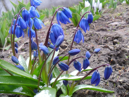 Delicate and fragile flowers are hardy and can easily tolerate frost and snow. And if numerous blue bells cover the carpet garden, it is a sure sign that spring is near. Because of the approaching warm days warns us it is the flower of the snowdrop.