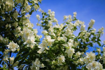 jasmine bush: Jasmine bush and amazing blue skyJasmine bush in the country and amazing blue sky