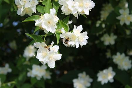 jasmine bush: Bumblebee and bee on a jasmine bush