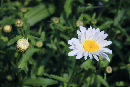 daisys: White daisy flower with green blured background