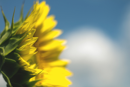 dazzlingly: Beautiful colorful sunflower blooms , sunflower with clouds and blue sky. Shallow depth of field photo