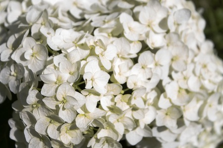 White flowers background, close-up, shallow depth of field