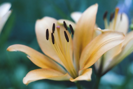 fulvous: Beautiful light orange lily close-up shallow depth of field, pestles Stock Photo