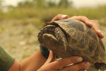 Land tortoise in human hands, found in the wild, in the mountains in the North Caucasus Stock Photo