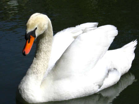 web footed: Swimming swan
