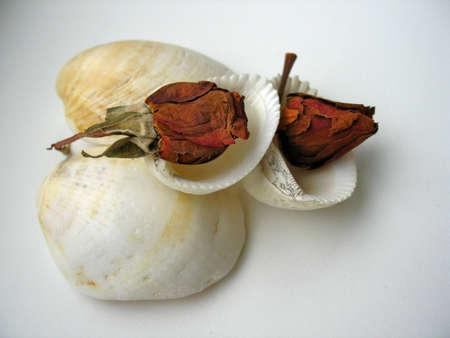 naturaleza: Rose shell II
