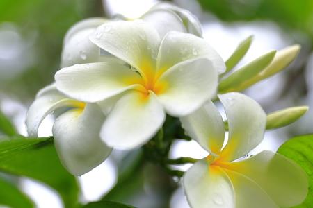 Tiare flower - Vanuatu