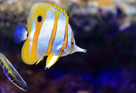 butterflyfish: Copperband butterflyfish Stock Photo