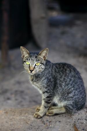 catlike: cat-laos