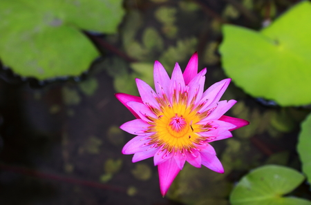 nenuphar: water lily-thailand