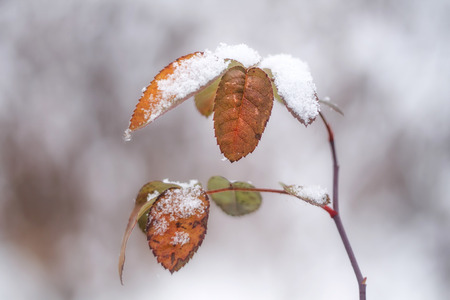palle di neve: branch with leaves covered with light snow, outdoors
