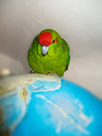 Red Crowned Parakeet . The new Zealand common green parrot. Sitting on the world map globe . Stock Photo