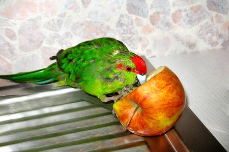 New Zealand red-crowned parrot Cyanoramphus novaezelandiae pecks Apple. Food and diet of birds in captivity.