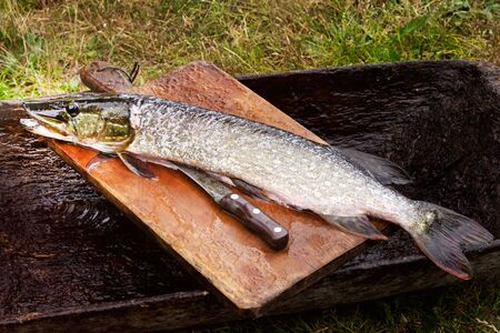 Fresh gutted river fish pike on a chopping Board and a knife next to it, outdoors. Nature, fishing, food.