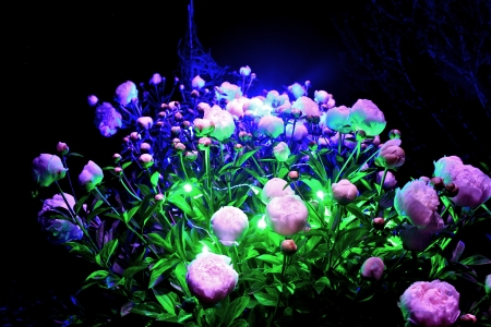roses in a light show
