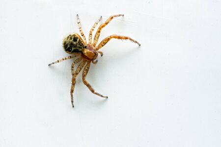 The jumping spider has 8 long legs and 8 eyes. An orange-color jumping spider whit a green part of the body, on white-colored backround