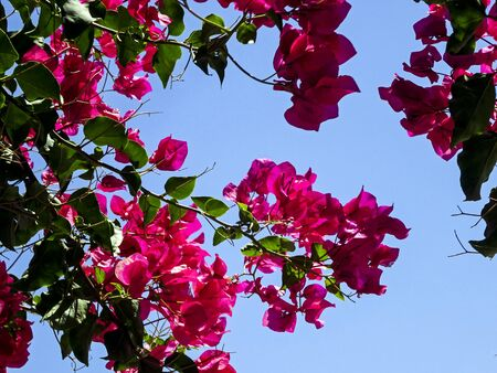 in the summer and in hot climates grows the bougainvillea in many different colors. The pink color ist the most impressive one