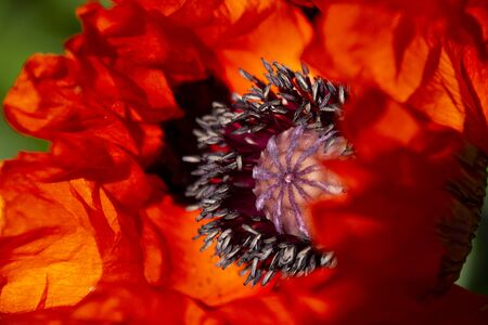 Petals and sepals of a red poppy flower in a close up illustration