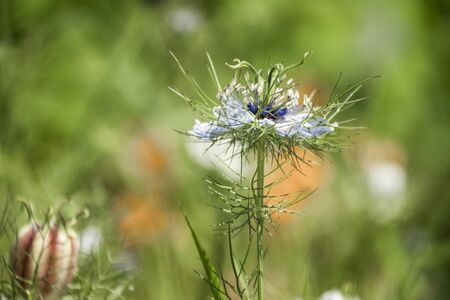 Awesome flower in the nature with white petals, blue sepals, green stem and thorns