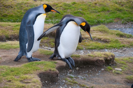 These two King Penguins watch their step at their colony in Fortuna Bay, Shetland Islands. Stock Photo