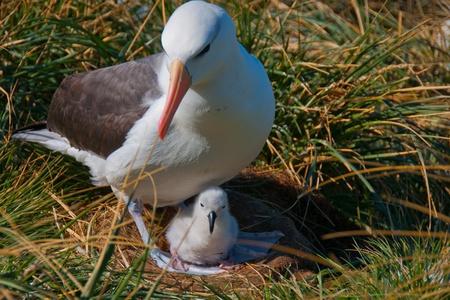 Cette albatros � sourcils noirs �tablit juste un ?uf et fait sa maison � l'�le de West Point dans les �les Shetland.