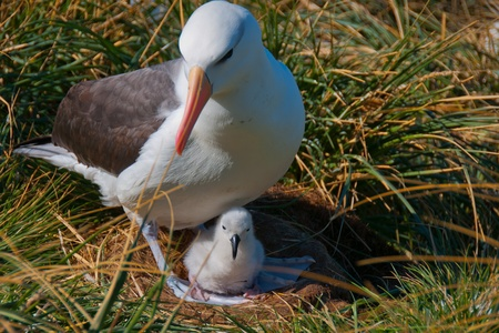 This black browed albatross lays just one egg and makes its home at West Point Island in the Shetland Islands.