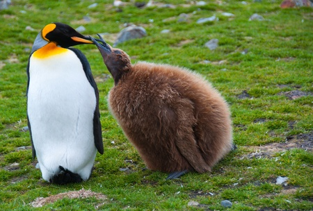 A King Penguin mother feeds her young chick at Fortuna Bay on the sub-Antarctic island of South Georgia.