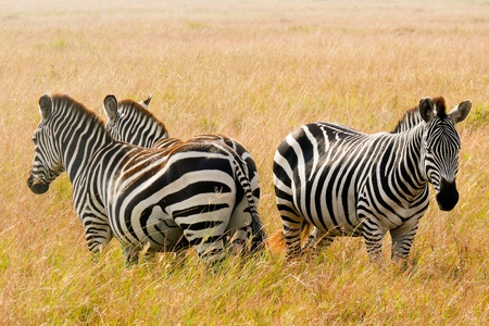 maasai mara: This group of three zebras stands in a circle to guard to guard against predators in the tall savanna grasses of the Maasai Mara duiring their annual migration.