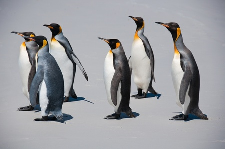 King penguins march along the beach at Volunteer Point in the Falkland Islands Stock Photo - 9330097