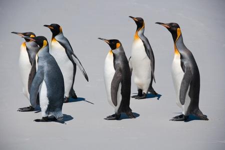 Les manchots roi mars le long de la plage au Point de b�n�vole dans les �les Falkland Banque d'images
