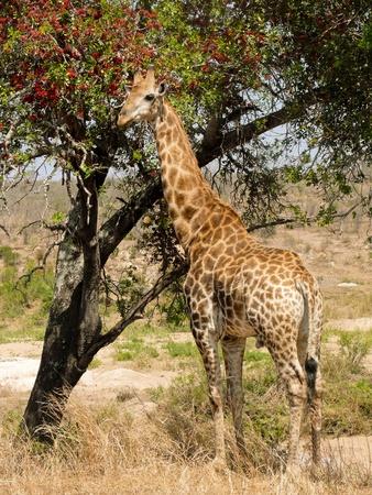 kruger national park: Giraffe eating tree blossoms in Kruger National Park.