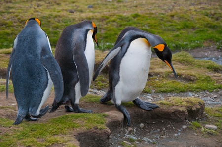 King penguiins negotiate a step at their colony in New Island, Falklands. Stock Photo - 9462303