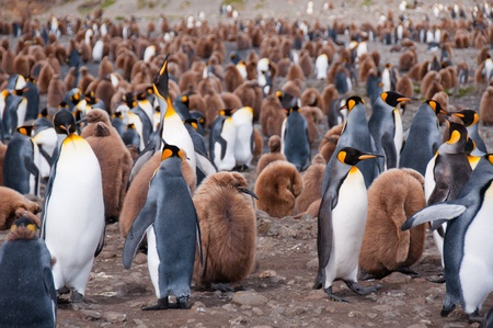 animals together: Thousands of king penguins with their newly hatched chicks populate their colony at Fortuna Bay,South Georgia Island.