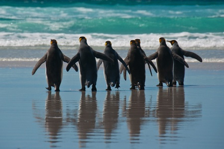 Rear view of seven king penguins entering the ocean at Volunteer Point, Falkland Islands. Stock Photo