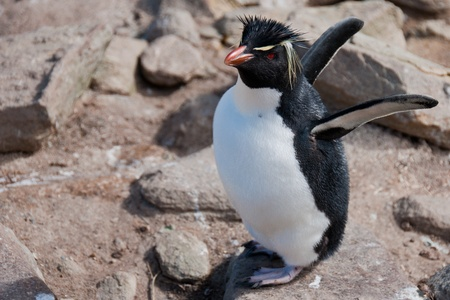 flapping: Rockhopper Penguin. This little rockhopper penguin flaps its wings at its colony on West Point Island,  Stock Photo