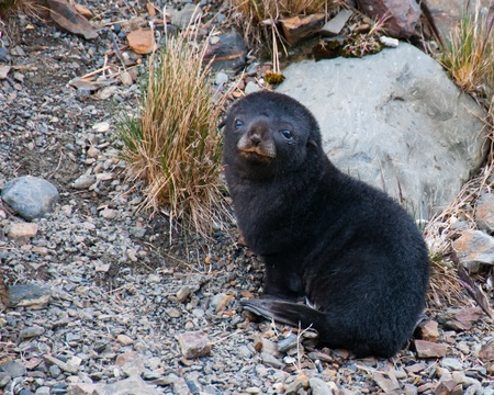 Baby Fur Seal. This cute fur seal pup waits patiently for its mother in Fortuna Bay, South Georgia Island Stock Photo - 9867987