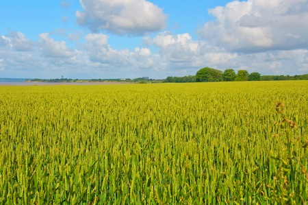 Golden wheat field with blue sky in northern England
