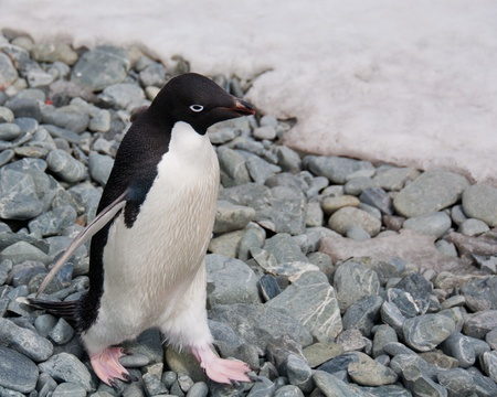 Adele Penguin in Antarctica.Cute penguin steps carefully on rocks in South Orkney Islands, Antarctica
